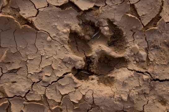 A dried impression of a wolf's paw