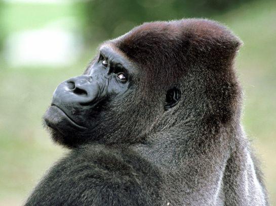 Amazon 800 lb Gorilla